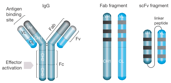 Commonly Used Recombinant Antibody Molecules